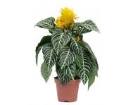 Купить цветок Афеляндра Скуарроса
