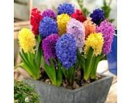 Купить цветок Гиацинт Микс 3 луковицы