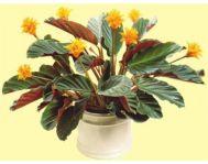 Купить цветок Калатея Кроката