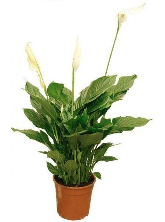 Цветок фикус али 12