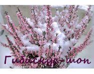 Купить цветок Вереск