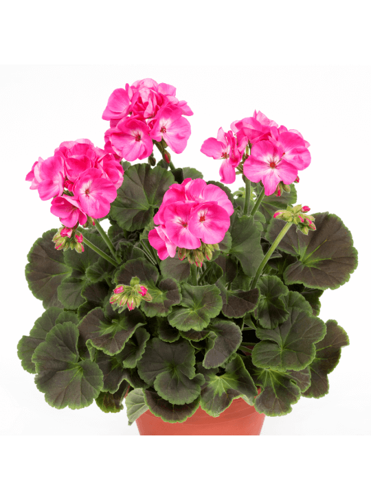 Пеларгония королевская  Pelargonium Герань