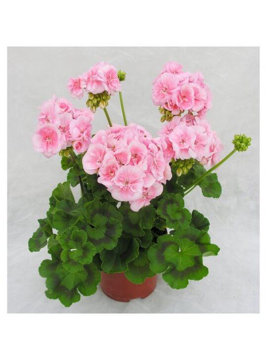 Пеларгония зональная  Pelargonium Герань