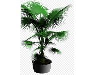 Купить пальму