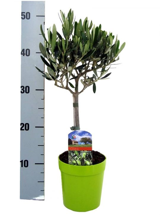 Оливковое Дерево Штамбовое D15