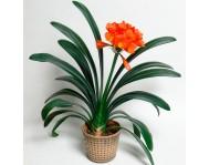 Купить цветок Кливия