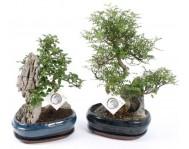 Бонсай Кармона (Чайное Дерево) с Камнем Д26