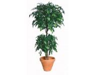 Купить цветок Фикус натали Бенджамина