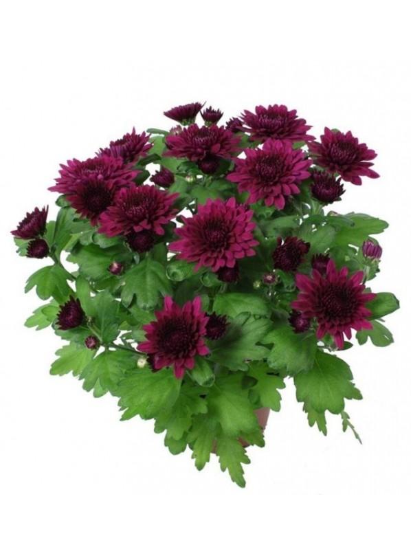 Хризантема пурпурная Кристал Лавли