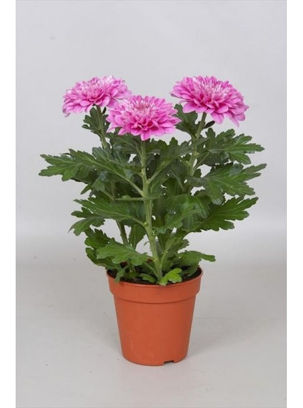 хризантема одноголовая d12