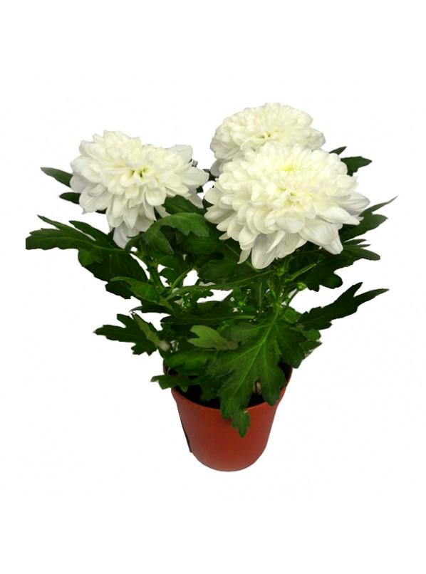 хризантема органза
