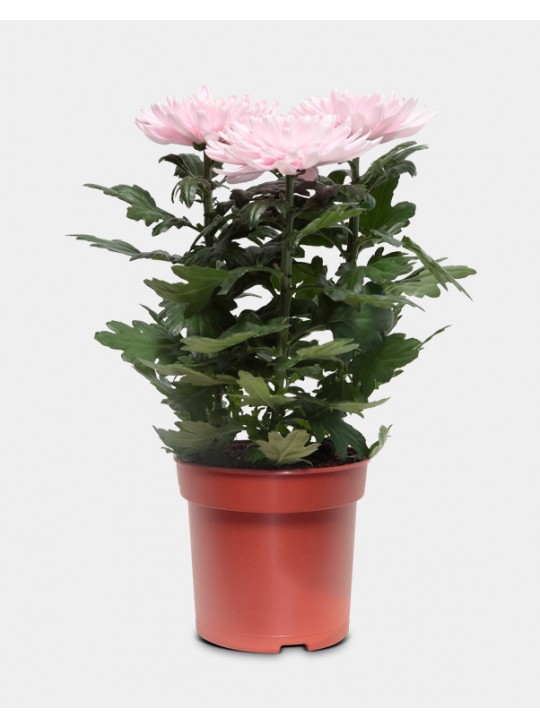 Хризантема розана