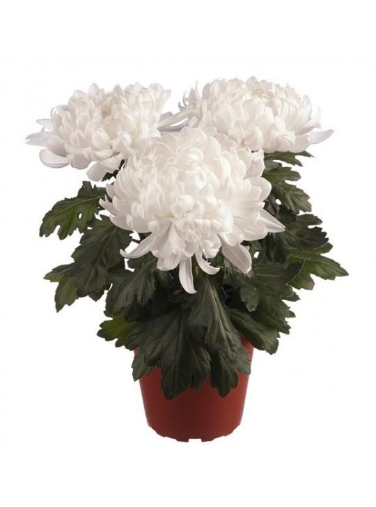 Хризантема деко