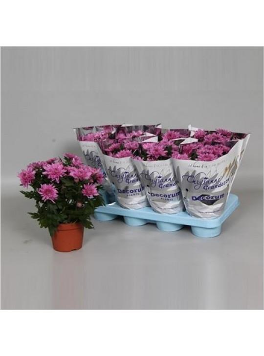 Хризантема грандезза