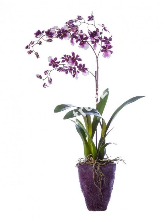 Онцидиум фиолетовый