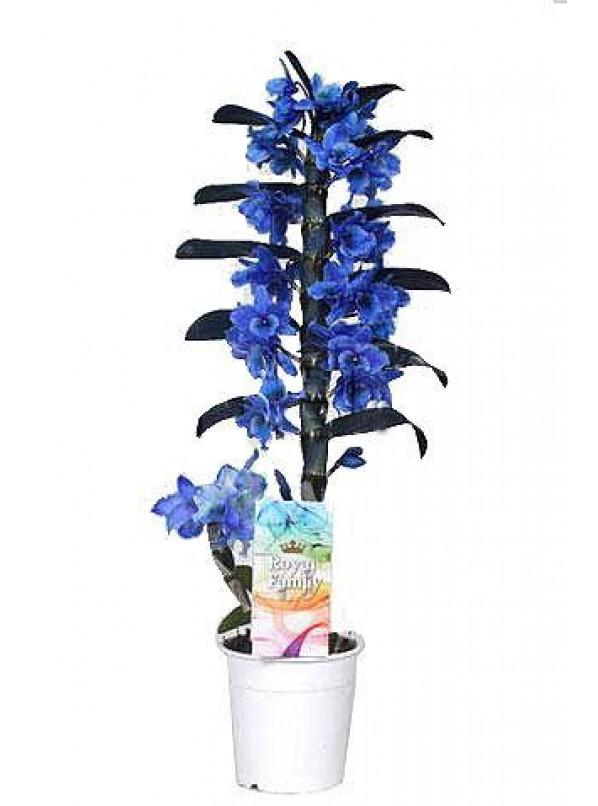 Дендробиум синий
