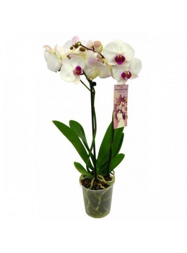 Фаленопсис Галифакс (Phalaenopsis Halifax) 2ст