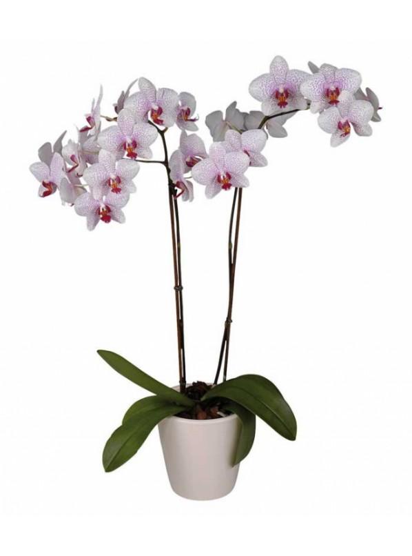 Фаленопсис Галифакс Phalaenopsis Halifax 2ст