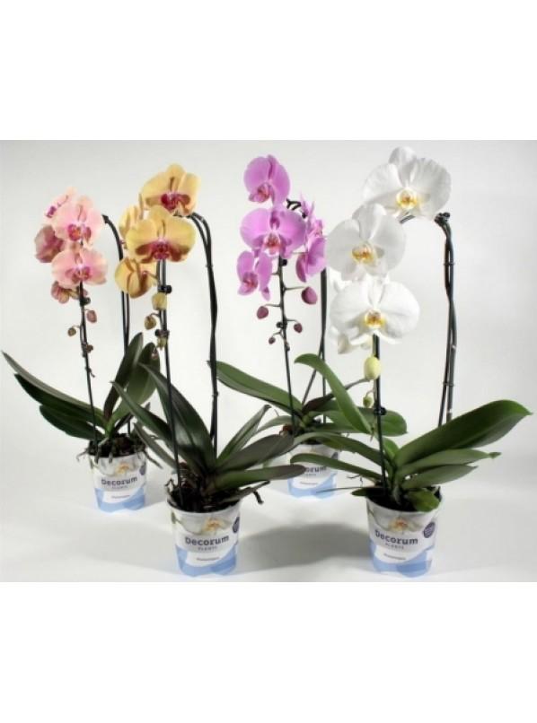Фаленопсис Микс Каскад (Phalaenopsis Cascade Mix)
