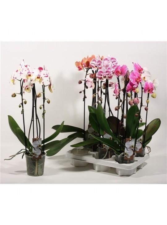 Фаленопсис Микс Каскад Phalaenopsis Cascade Mix