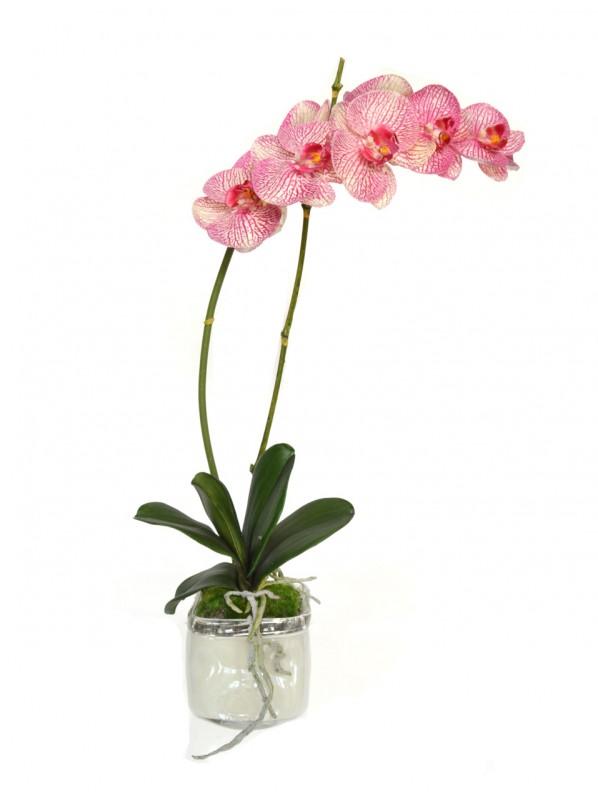 Фаленопсис розовый (Phalaenopsis Pink) 1ст