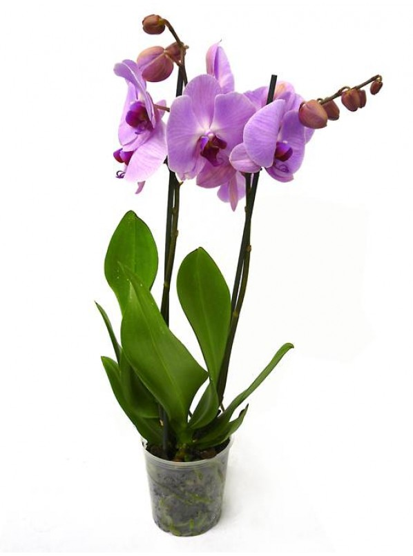 Фаленопсис розовый (Phalaenopsis Pink) 2ст