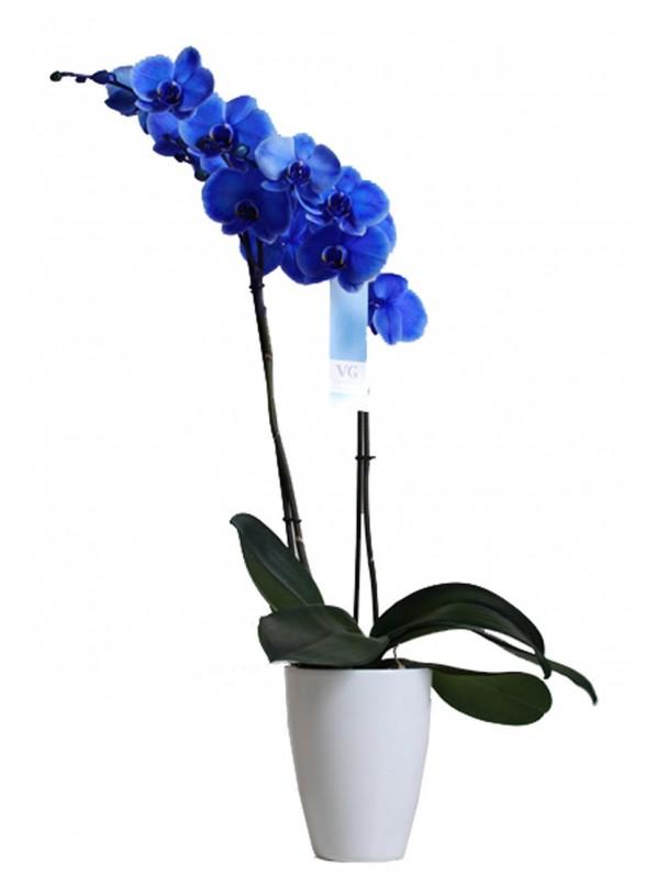 Фаленопсис синий 2ст