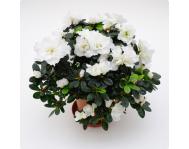 Азалия (Рододендрон) в керамике