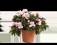 Азалия (Рододендрон)  Розовая D12