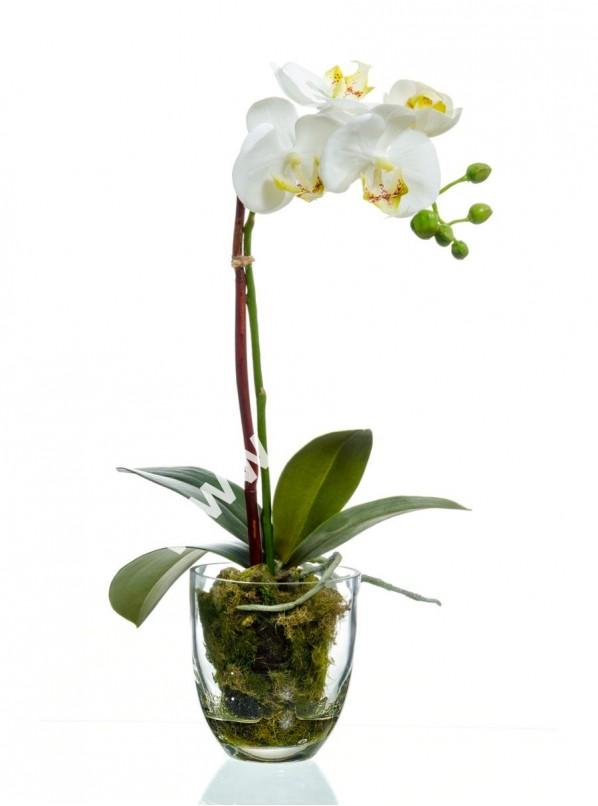 Фаленопсис белый Phalaenopsis white 1ст