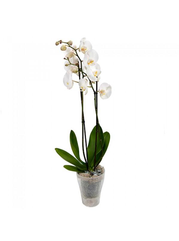 Фаленопсис белый (Phalaenopsis white) 2ст