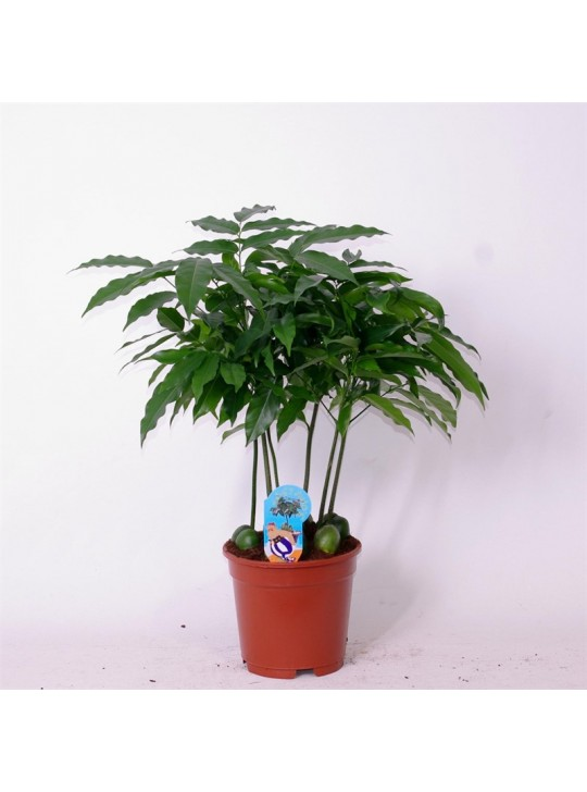 Кастаноспермум Castanospermum