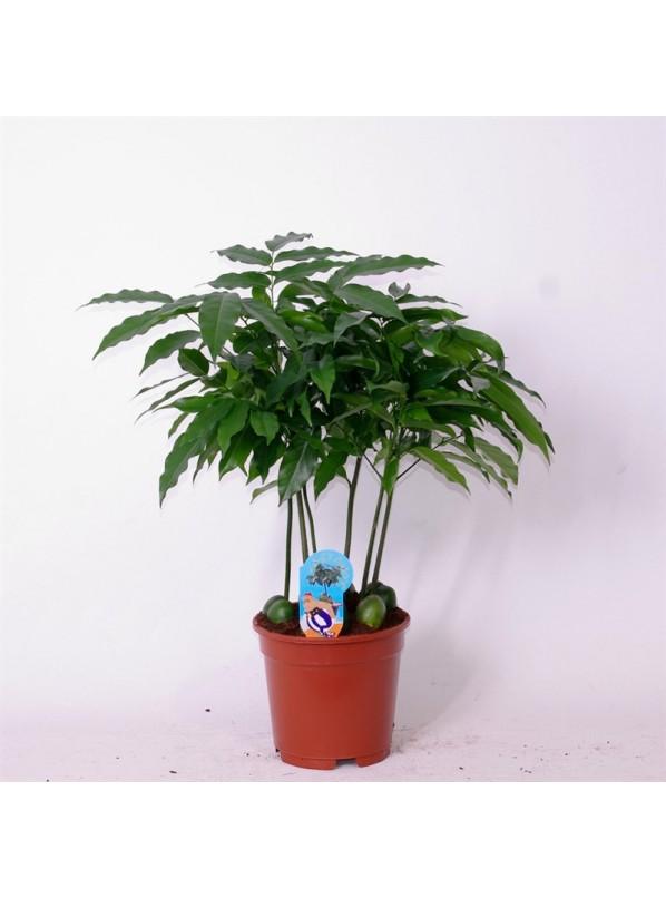 Кастаноспермум (Castanospermum)
