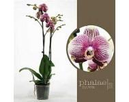 Фаленопсис Фантом Phalaenopsis Phantom