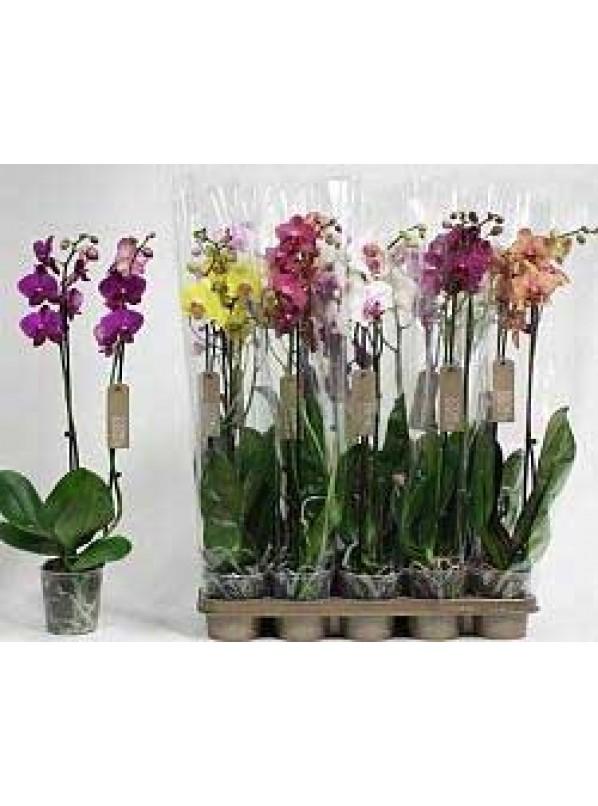 Фаленопсис Элит Микс Phalaenopsis Elite Mix