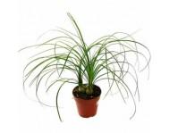 Купить пальму Бокарнея