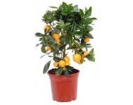 Цитрусовые деревья и растения