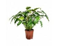 Купить цветок Филодендрон