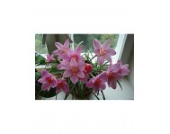 Купить цветок Зефирантес