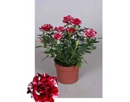 Роза кордана Джиджи D10