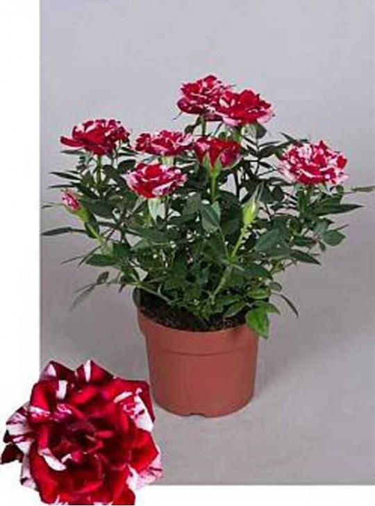 Роза кордана Джиджи D13