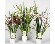 Купить цветок Цикламен