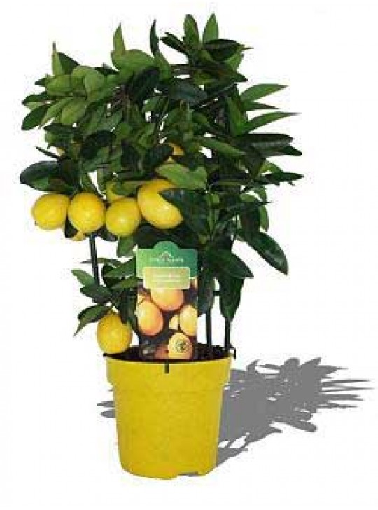 Цитрофортунелла Вулкан Лимон Citrofortunella Vulcan Lemon
