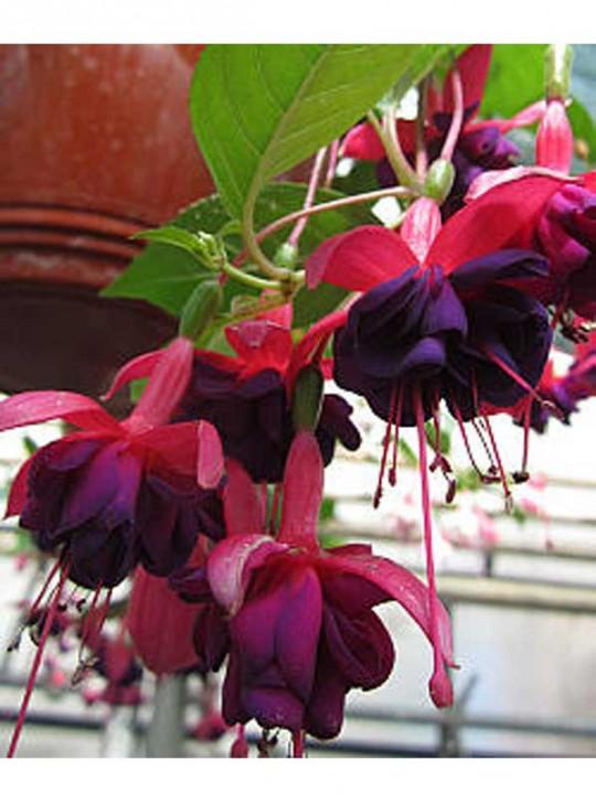 Фуксия ампельная фиолетово-розовая в подвесном кашпо