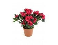 Азалия (Рододендрон) красная