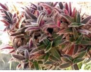 Купить цветок Цианотис
