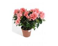 Азалия (Рододендрон) розовая D15