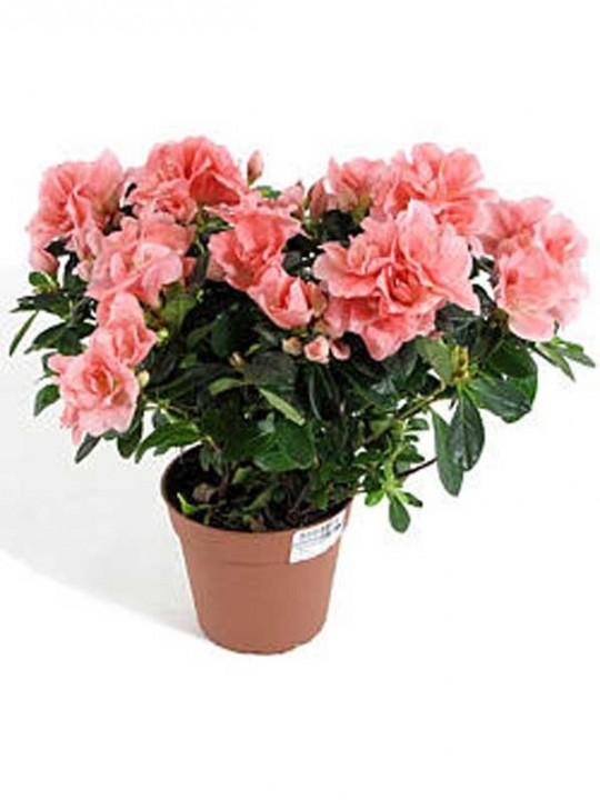 Азалия (Рододендрон) розовая