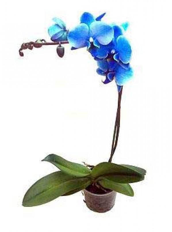 фаленопсис синий d12