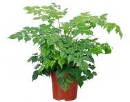 Купить цветок Радермахера